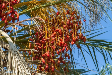 Date palm fruits, cluster of date fruits 스톡 콘텐츠