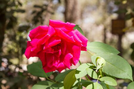 Blooming red rose in garden, blurred background