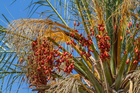 Date palm fruits, cluster of date fruits Stock Photo