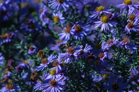 bee garden: Blue flowers and bee, garden blue aster Stock Photo