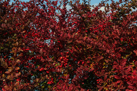 red bush: Red bush with red berry