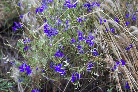 garden cornflowers: blue wild flowers, nature background