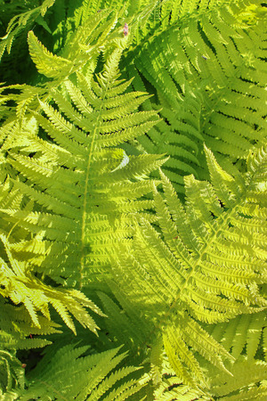 green fern leaves lit bright spring sunshine