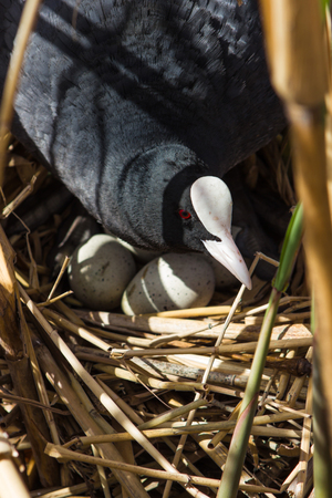 Coot on nest with eggs in reeds, natural background with bird Stock Photo