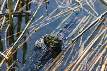 Green frogs mate in swamp, natural background with amphibian Stock Photo
