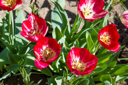 Flowers garden red tulips, natural floral background Stock Photo