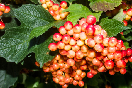 large bunches of red viburnum against the background of green leaves