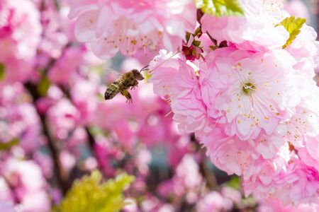 bee pollinates pink flower on flowering tree in spring, colorful background with image of insect and vegetation