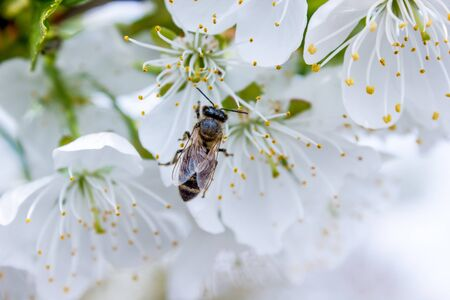 bee pollinates white flowers of cherry on flowering tree in spring, colorful background with image of insects and vegetation Фото со стока