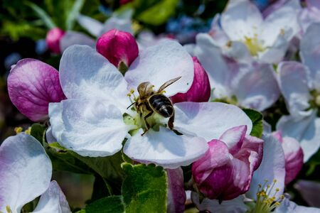 bee pollinates pink apple tree flower on flowering tree in spring, colorful background with image of insects and vegetation