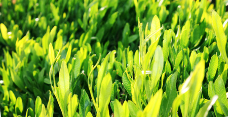 Close up of fresh green grass photo
