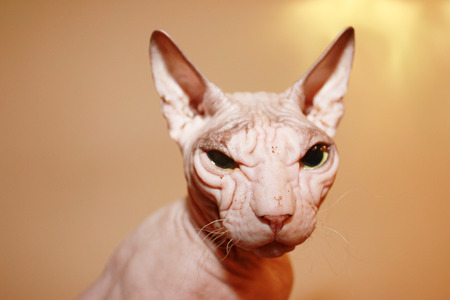 hairless: A wrinkled hairless head of cat. Stock Photo