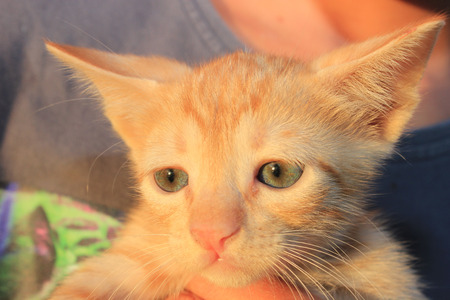 nose close up: Red domestic kitten. Head of red kitten. Cute kitten cat.