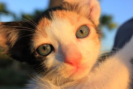 nose close up: Tricolor domestic kitten. Head of  kitten. Cute kitten cat.