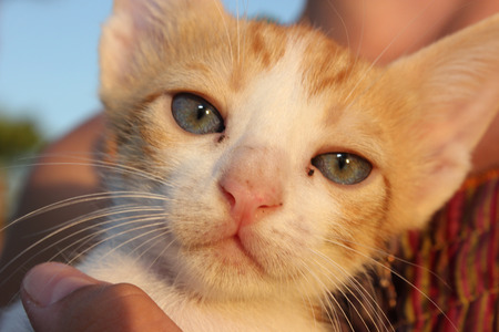 human eye close up: Cute domestic kitten. Head of red kitten. Cute kitten cat.