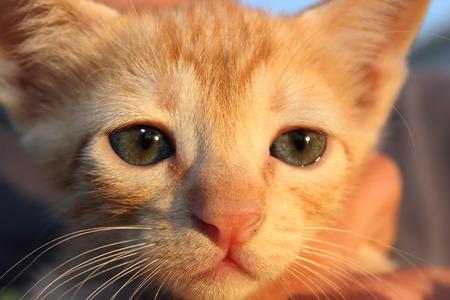 nose close up: Cute domestic kitten. Head of red kitten. Cute kitten cat.