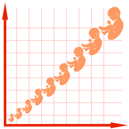 growth chart: Human Fetus Growth Chart Isolated on White Background