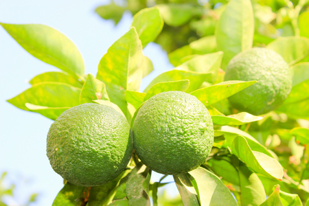 Green Unripe Orange Fruit On A Branch. Orange Garden. Orange.. Stock ...