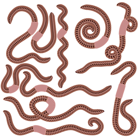 anguine: Animal Earth Red Worms for Fishing Isolated on White Background