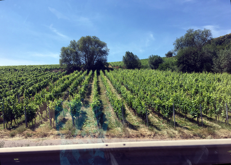 Rows of Vineyard Crape Vines. Summer landscape with green Vineyards in France Stock Photo