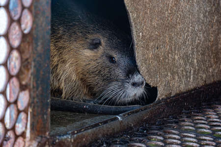 domestic nutria in a cage white yellow and gray 版權商用圖片