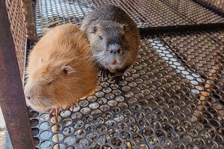 : domestic nutria in a cage white yellow and gray 版權商用圖片