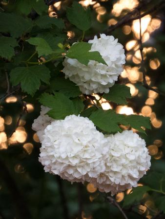 boules: White flowers bush boules de neige close-up