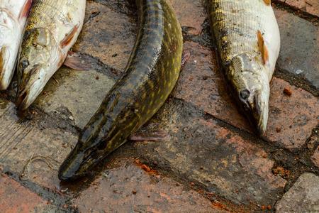 river fish: River fish