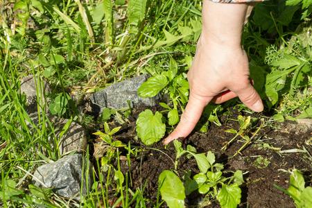 seedlings: planting seedlings Stock Photo