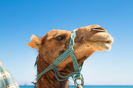 A camel against the background of the sea and the blue sky. Stock Photo