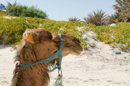 camel Stock Photo