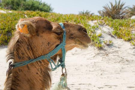 animal camel Stock Photo