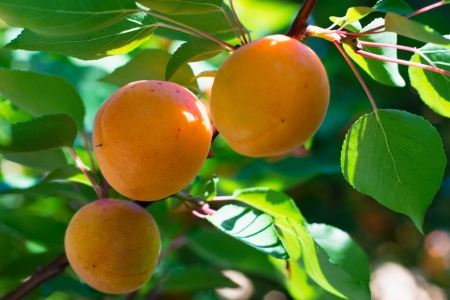 Apricot tree branch with three ripe fruits on it, Selective Focus photo