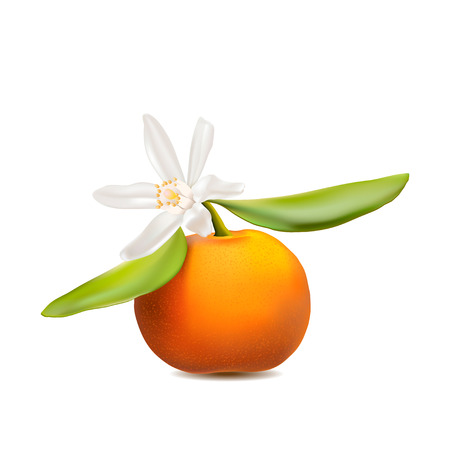 res: Fresh tangerine fruit with green leaves and blossom. Photo-realistic vector illustration, EPS. High res jpg included. Illustration