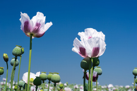 Blossoming opium poppy against blue sky. Beautiful countryside scenery in Czech Republic. Selective focus with shallow DOF