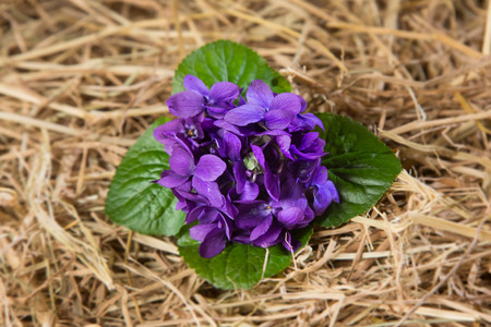 violets: Bunch of violets leaning over the straw Stock Photo