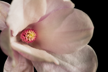 pureness: Detail of magnolia flower on a black background