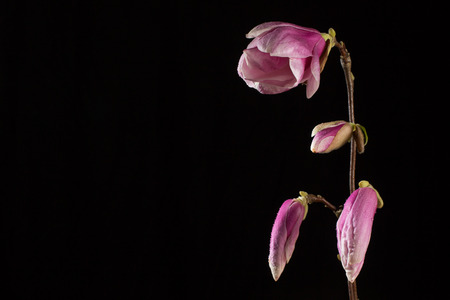 magnolia branch: kobus magnolia branch with flower and buds on a black background Stock Photo