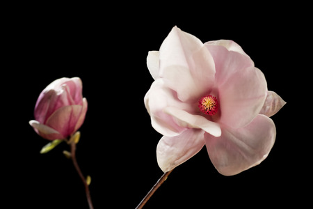 soft peak: Magnolia blossom and bud on a black background Stock Photo