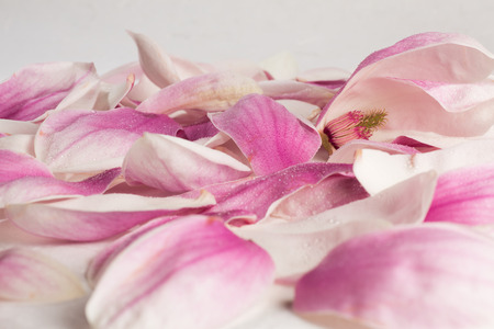 soft peak: Petals of Magnolia kobus covered by droplets
