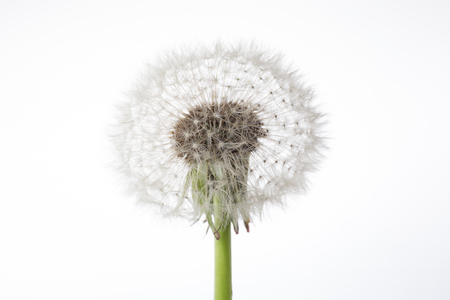 One fluffy dandelion with seeds on white background