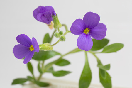soft peak: three purple aubretia flowers with some closed buds on plant and leaves Stock Photo