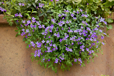 soft peak: a mass of purple aubretia flowers growing over the rim of a planter