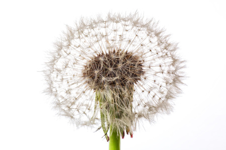 zenith: One fluffy dandelion with seeds on white background