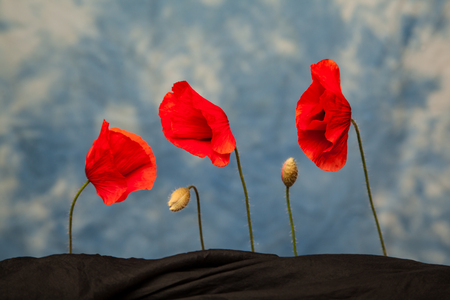 offshoot: Three red poppy flowers on blue background with black cloth