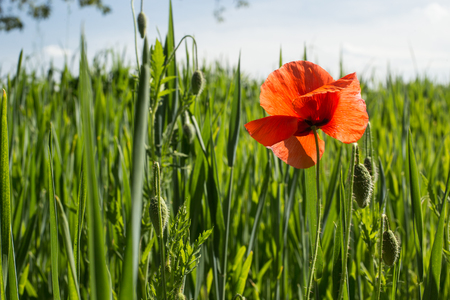 offshoot: Single red poppy flower in natural field, close up