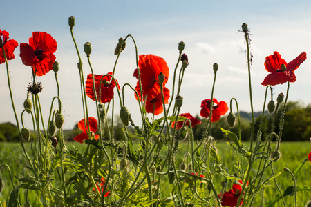 offshoot: Natural poppy plants with flowers, buds and seed pods in a field, blue sky