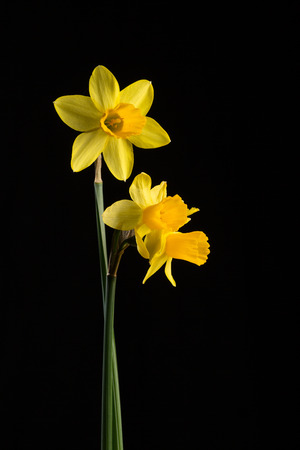zenith: Three daffodils on a black background, back and front lit