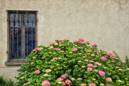 rejas de hierro: Light pink to darker pink hortensia flowers on large bush growing in front of a beige wall with antique style window with decorative wrought iron bars. Foto de archivo