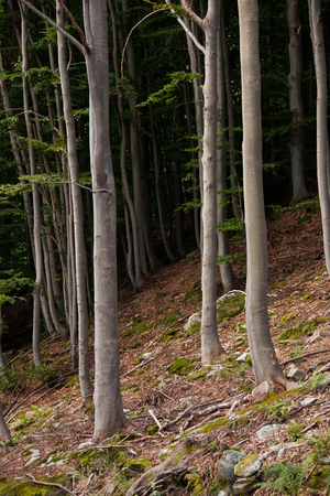 deepness: Beech tree, trunk view, growning on the side of a mountain, forest floor in foreground